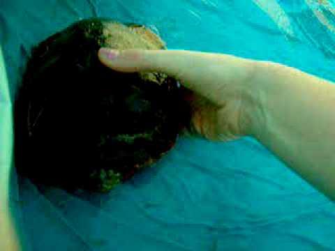 Jasper My Pet Turtle Swimming In My Pool In My Yard Youtube