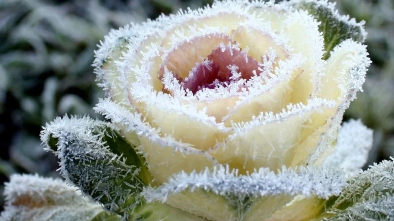 фото белой розы на снегу брат