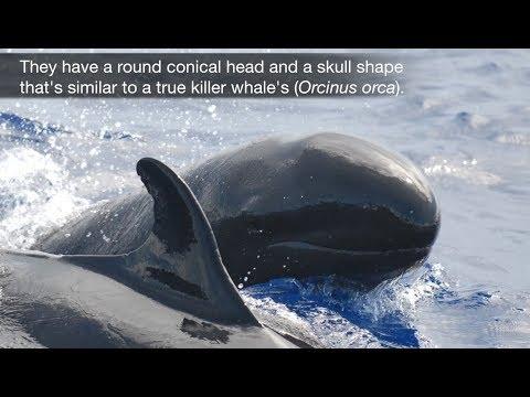 False Killer Whales in the Hawaiian Islands
