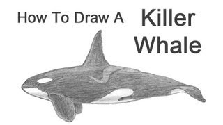How to Draw a Killer Whale (Orca)