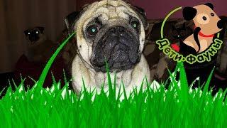 Почему собака ест траву? Можно ли собаке есть траву?
