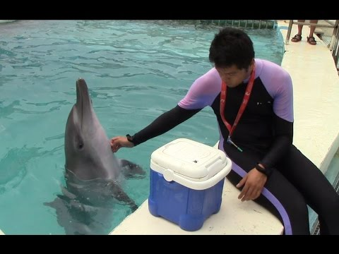 Indo-Pacific Bottlenose Dolphin Offering Tactile at Yehliu Ocean World (9/20/15) 野柳海洋世界海豚