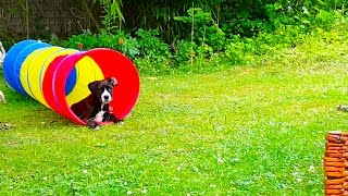 Boxer Labrador Mix Puppy Playing With Her New Toy [12 Weeks][60fps]