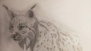 How to draw/comment dessiner : Un Lynx