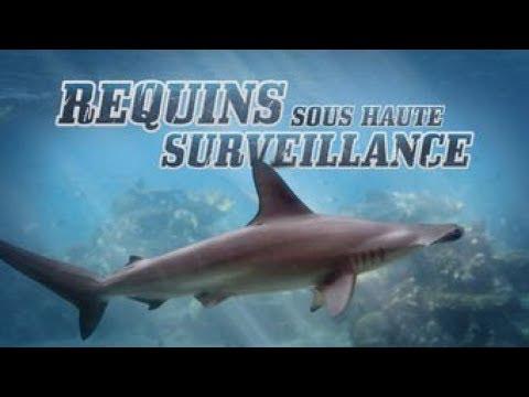 Requins sous haute surveillance