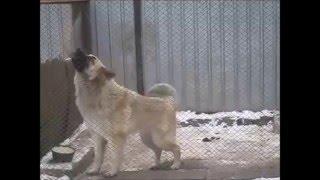 Танцующая собака / Dancing dog