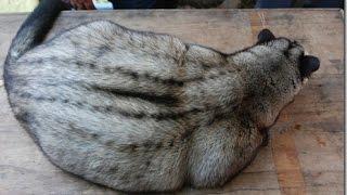 exotic animal collection (musang)