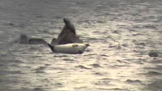 Harbor Seals in Action