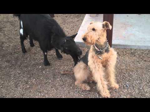 Funny Goat Licks Dog!