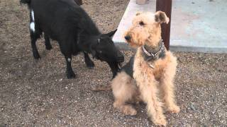 Repeat youtube video Funny Goat Licks Dog!