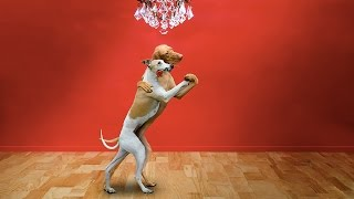 Pets and DOGS DANCING (New Video) (HD) [Funny Pets]