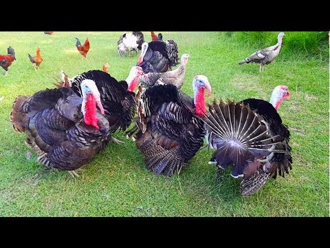 Turkey Bird Sound | Turkey Feeding | Different Touch