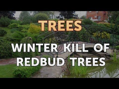 Winter Kill Of Redbud Trees