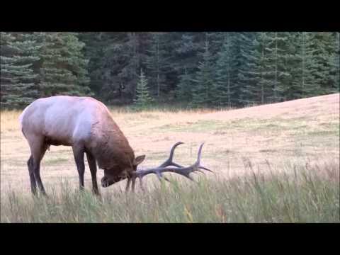 Elk Rut 2013