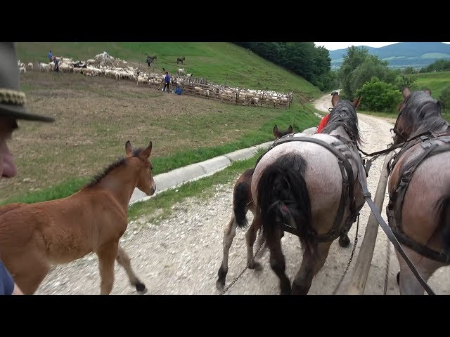 Caii domnului Viorel de la Catcau, Cluj - 2019 Nou !!!