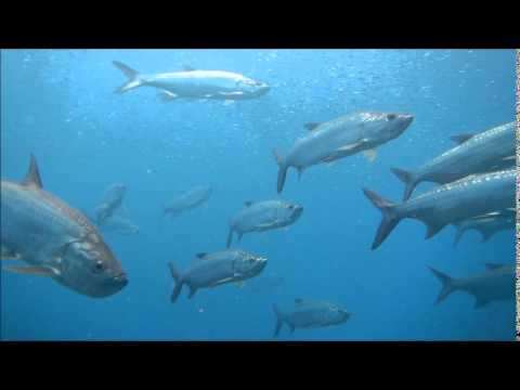 Patagon - Diving with tarpon off Congo Cay