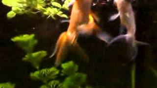 Aquarium -- Celestial Eye goldfish