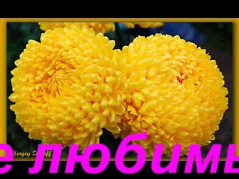 Вязаные хризантемы на заказ