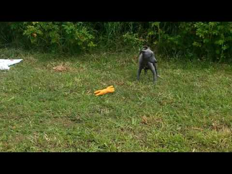 Dog vs pig. Italian Greyhound puppy