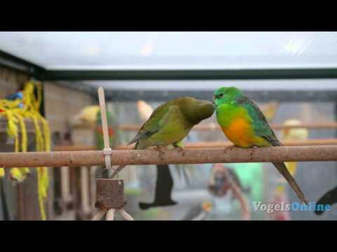 Roodrugparkieten – Red rumped Parrot