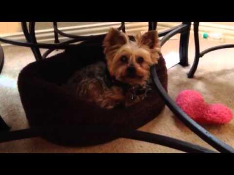Talking To My Yorkie Service Dog Youtube