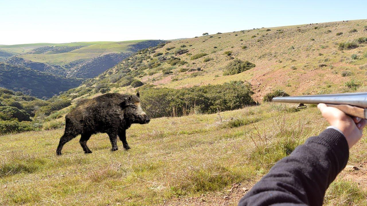 Charge d'un sanglier au Maroc - chasse au sanglier 2019