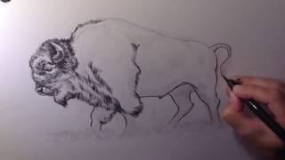 Drawing a Buffalo