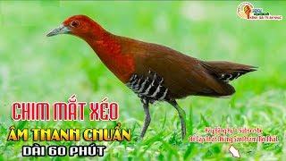 Tiếng Chim Mắt Xéo Âm Thanh Chuẩn - Dài 60 Phút