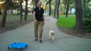 Honey - Cavapoo | Redeeming Dogs | Tod Mcvicker Dallas Dog Training