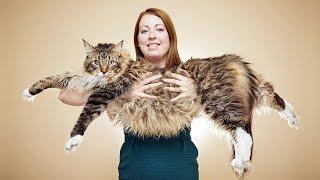 Самая длинная кошка в мире! Рекорды Гиннеса 2017. Угадаешь размер?