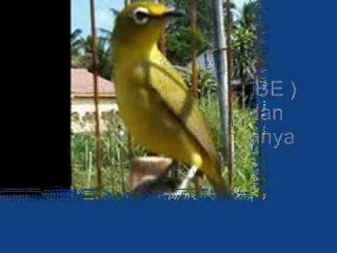 Tips Memilih Burung Pleci Bakalan Yang Berkualitas Cepat