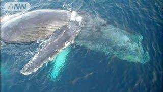 高速船と衝突したクジラ?現場に体長10m超の死骸(12/04/24) thumbnail