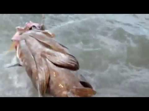 Redfish attacks the bait