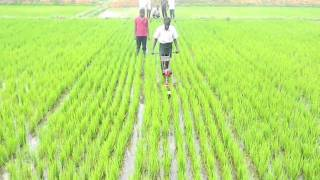 power weeder in direct seeded rice plot