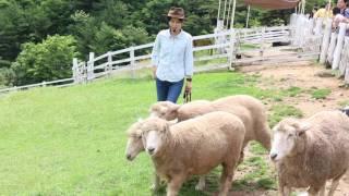 牧羊犬ルーシーが羊を追い始めて、ビックリしました。 このルーシー、め...