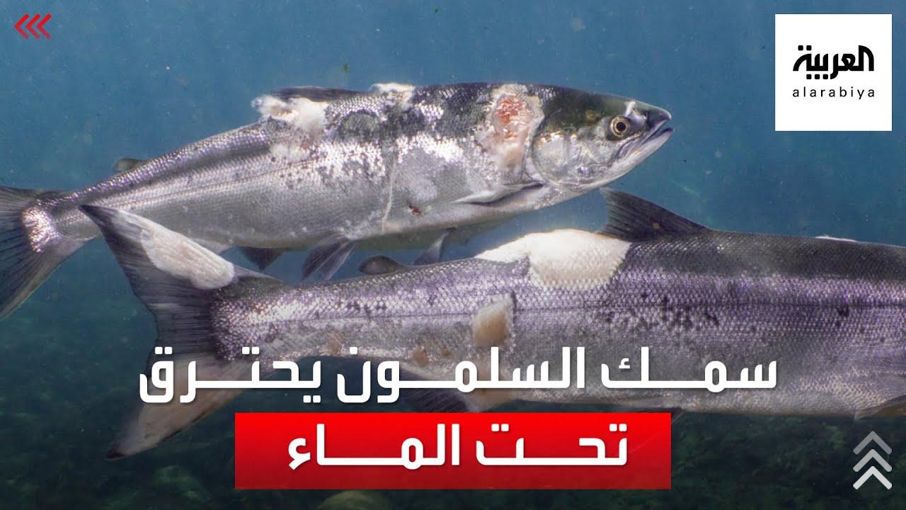 صورة فيديو : كارثة في المحيط الهادىء..أسماك السلمون تحترق تحت الماء
