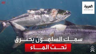 كارثة في المحيط الهادىء..أسماك السلمون تحترق تحت الماء