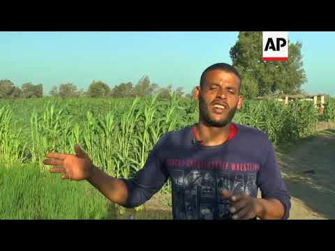 Farmers struggle after rice crops ban