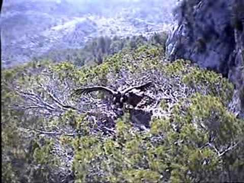 Black Vulture Nestcam #2: Copulation and Nest-building