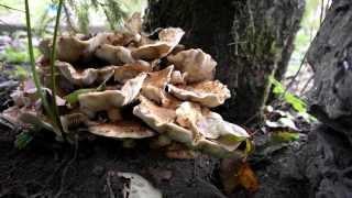 Как выглядят грибы опята яблочные