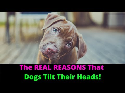 Why Do Dogs Tilt Their Heads When You Talk To Them?