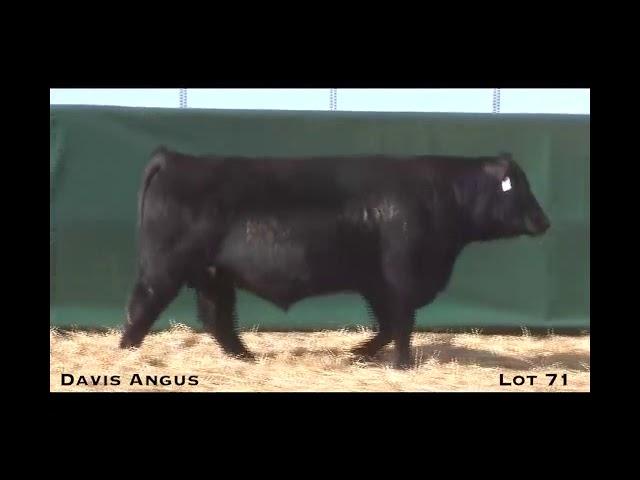 Davis Angus Lot 71