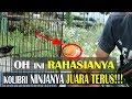 Oh Ini Rahasianya Kolibri Ninjanya Juara Terus  Mp3 - Mp4 Download