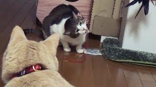 壊れた釣り竿式猫じゃらしを♀猫こむぎ用に再利用 サビイロネコ 検索動画 27
