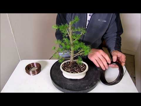 How To Make a Bonsai Step by Step Beginners Guide To Wiring Trees