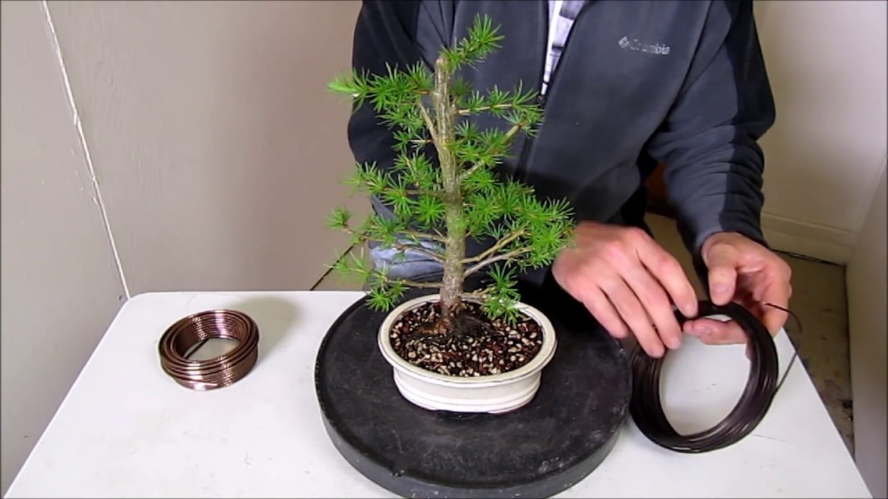 how to make a bonsai step by step beginners guide to wiring trees rh youtube com Bonsai Shapes Bonsai Styles