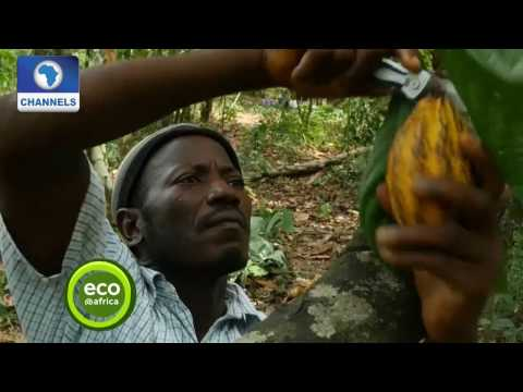 Eco@Africa: Cocoa Trees Help To Protect Forests In Sierra Leone