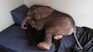 This Baby Elephant Decided to Spend His Last Days Alongside This Creature