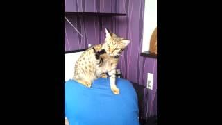 котенок Оцикет играет