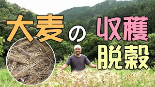 【自然農】大麦の収穫と脱穀(栽培方法 育て方 ) 2021/6/3 [Natural farming] Barley harvest and threshing
